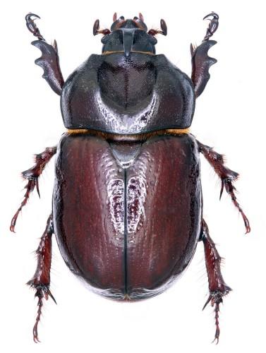 Phyllognathus excavatus macho