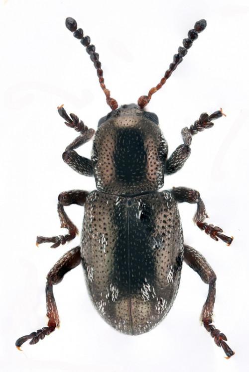 Pachnephorus cylindricus