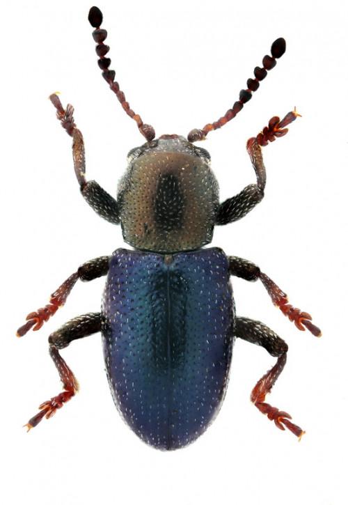 Pachnephorus cylindricus ab.  hipponensis