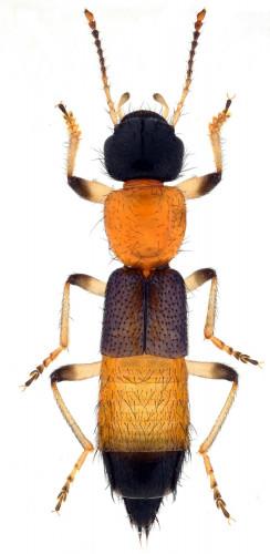 Coleoptera Staphylinidae