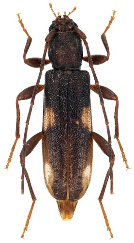 Penichroa fasciata