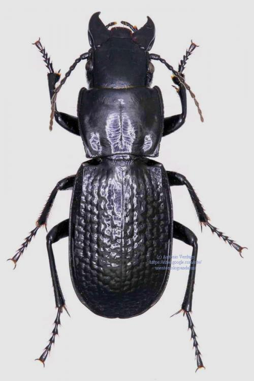 Percus plicatus