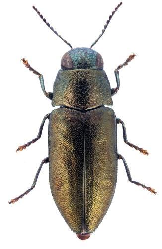 Phaenops sumptuosa