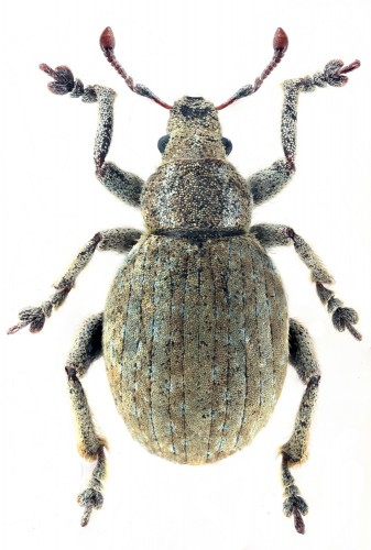 Philopedon vicinus