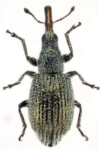 Phrissotrichum tubiferum macho