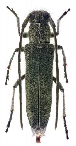 Phytoecia (O.) coerulescens