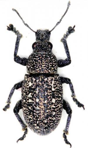 Polydius prodigus
