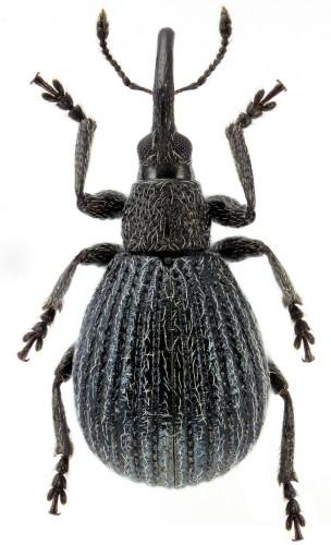 Protopirapion atratulum