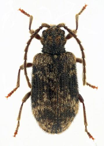 Ptinus palliatus