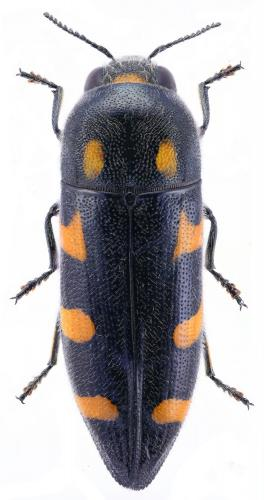 Ptosima undecimmaculata
