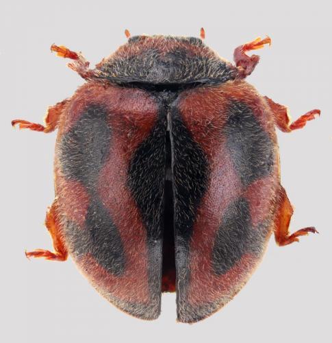 Coleoptera Coccinellidae