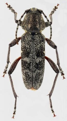 Rusticoclytus rusticus