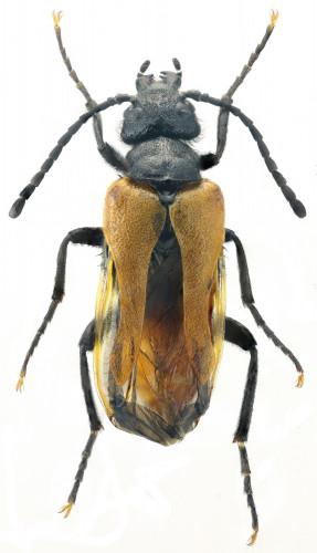 Sitaris rufipennis