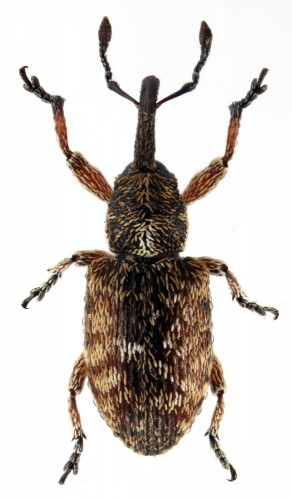 Smicronyx pauperculus