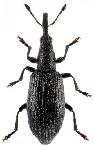 Stenopterapion intermedium
