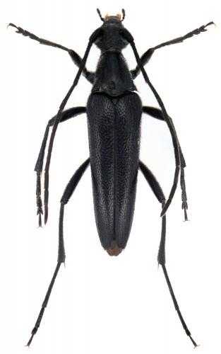 Stenurella nigra