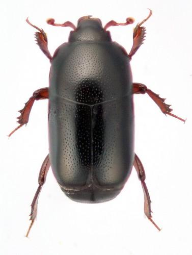 Teretrius parasita