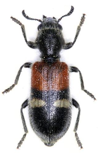 Tilloidea transversalis
