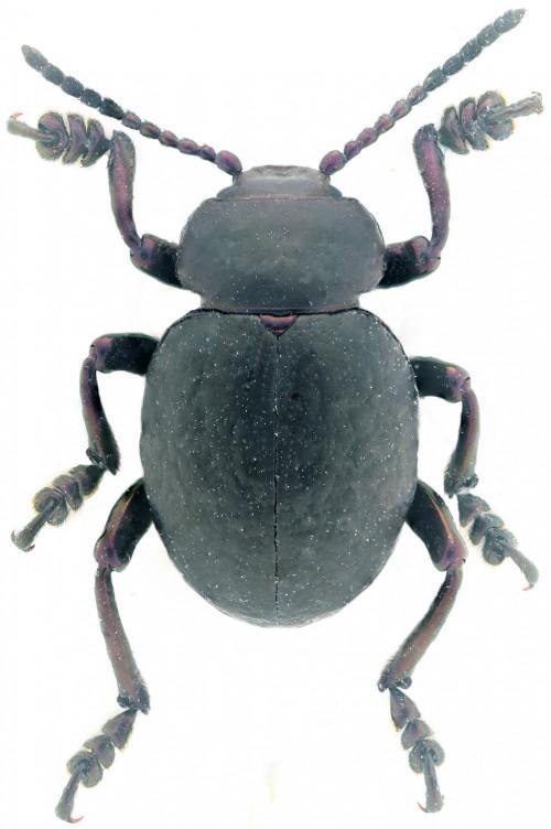 Timarcha parvicollis