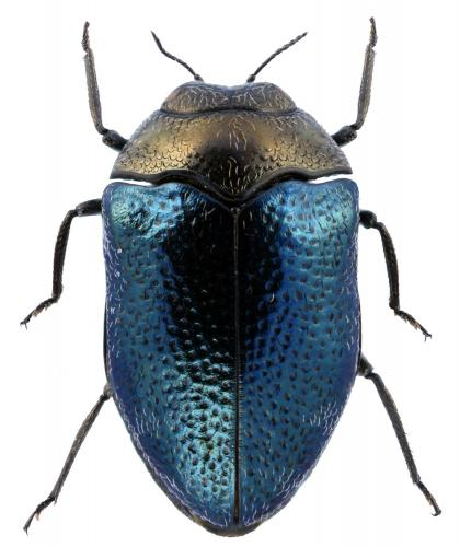 Trachys troglodytiformis