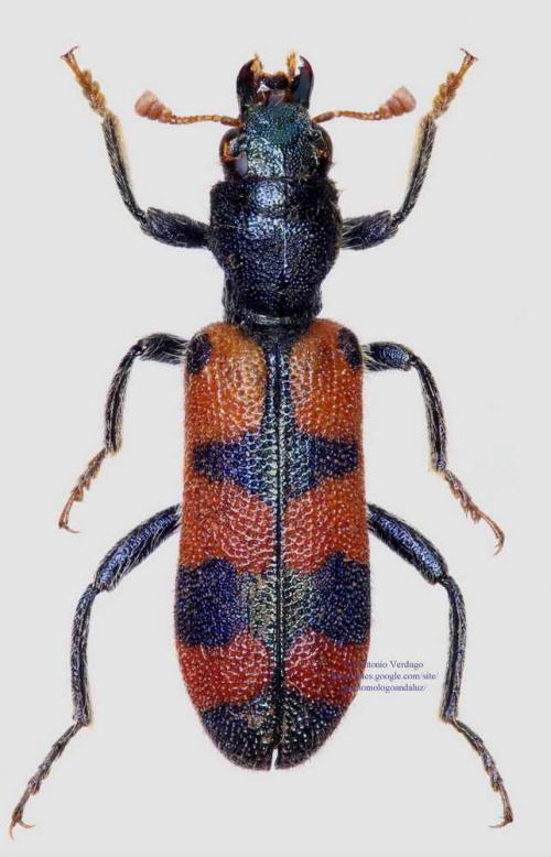 Trichodes leucopsideus