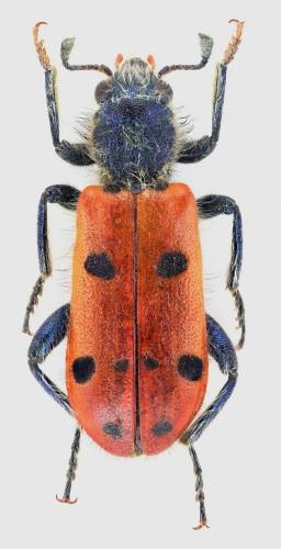 Trichodes octopunctatus