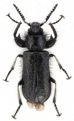 Trochantodon tibiellus