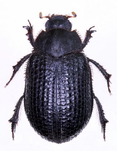 Trox cotodognanensis