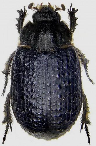 Trox granulipennis