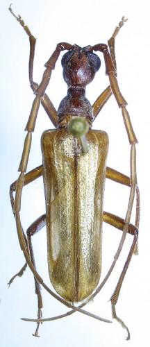 Vesperus nigellus