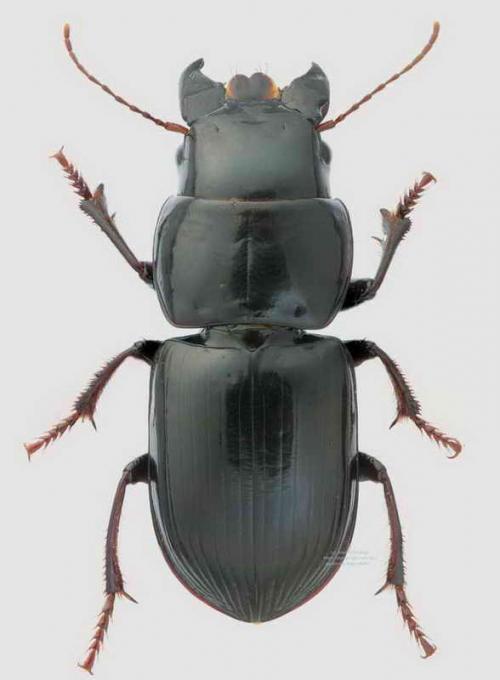 Acinopus giganteus