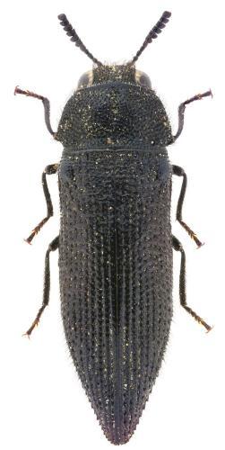 Acmaeodera maroccana