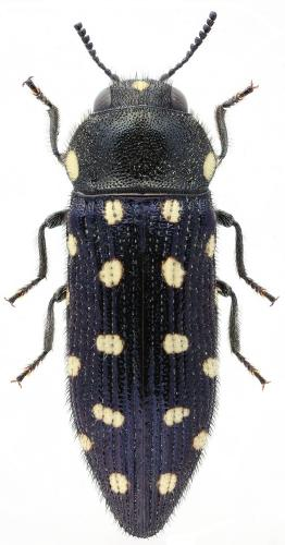 Acmaeodera octodecimguttata 14-punctata