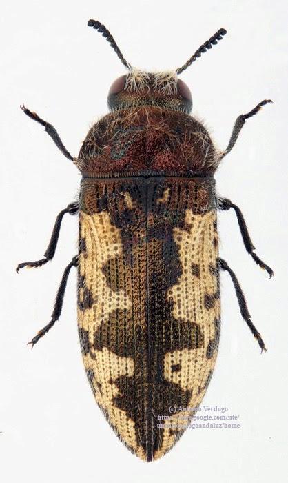 Coleoptera Buprestidae