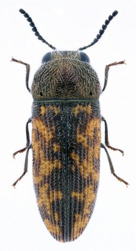 Acmaeodera lugubris malacensis