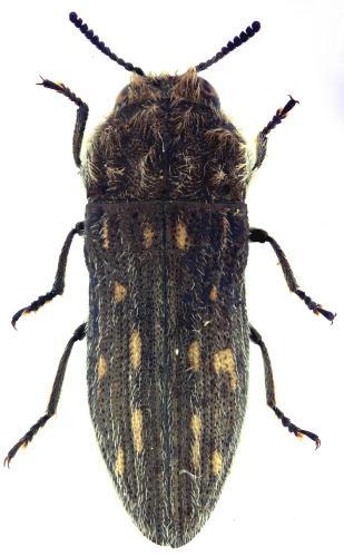 Acmaeoderella discoida