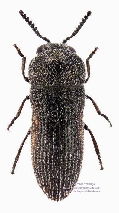 Acmaeoderella rufomarginata macho