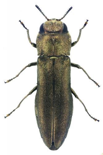 Agrilus pulvereus