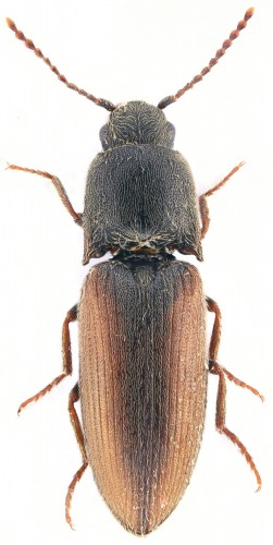 Agriotes andalusiacus