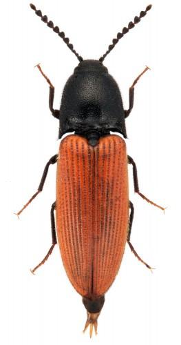 Ampedus cinnabarinus