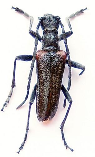 Anisorus quercus
