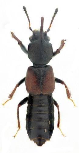 Bledius (Bledius) graellsi