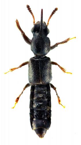 Bledius (Dicarenus) unicornis