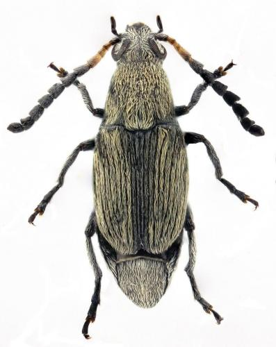 Bruchidius cinerascens
