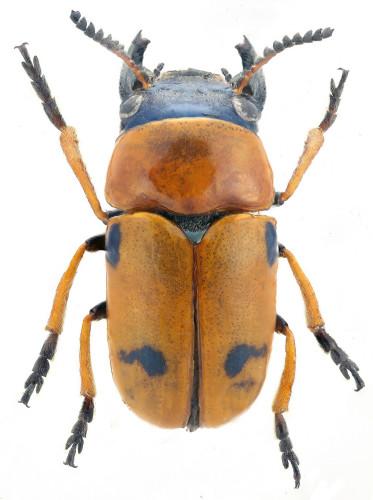 Coptocephala scopolina