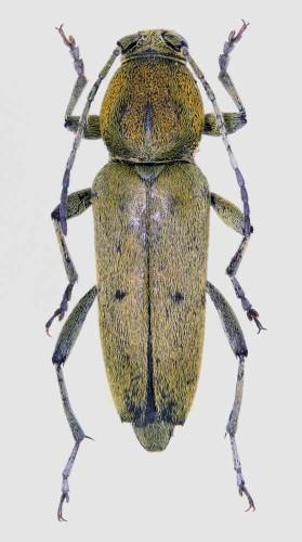Chlorophorus glaucus macho