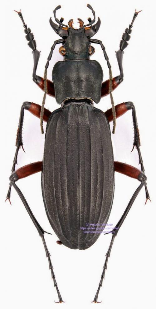 Carabus (Ctenocarabus) galicianus