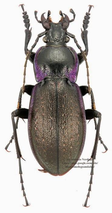 Carabus (Mesocarabus) problematicus