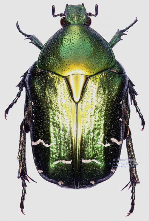 Cetonia carthami aurataeformis