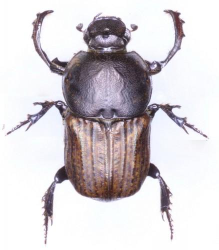 Cheironitis hungaricus